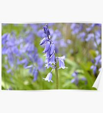 Field of bluebells  Poster