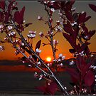 Purple Sand Cherry at Sundown by Deb  Badt-Covell