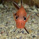 Roughy - Trachichthys australis by Andrew Trevor-Jones