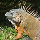 Iguana by Margaret Shark