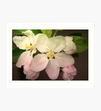 Pink / white Apple Flowers Art Print
