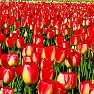 Red and Yellow Tulips by Tori Snow
