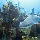 Reef Shark by diveroptic