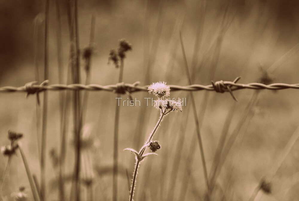 Barbed Wire by Trish Threlfall