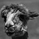 Alpaca in B+W by adbetron