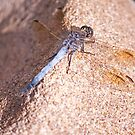 Resting Dragonfly by jayneeldred