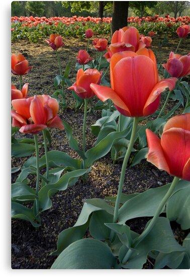 Red Tulip Field by Adam Bykowski
