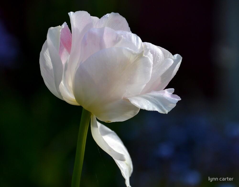 Pale Tulip by lynn carter