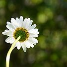Bellis perennis by marxbrothers