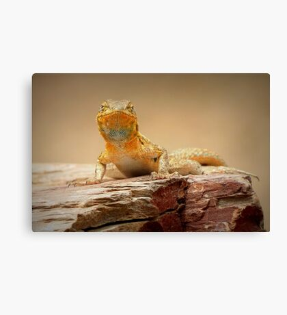 Common Side-blotched Lizard~ Eye Contact Canvas Print