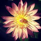 Pink Waterlily  by JulesVandermaat