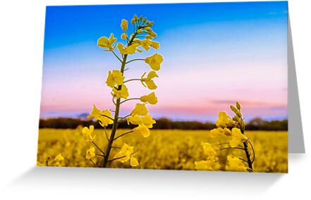 Rapeseed 2 by JEZ22