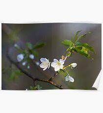 Wild cherry flowers Poster