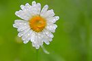 Daisy Dew by NatureGreeting Cards ©ccwri