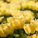Backlit Yellow Tulips. by Stuart  Gennery