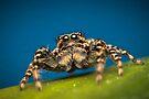 Marpissa muscosa male jumping spider macro photo by Mario Cehulic