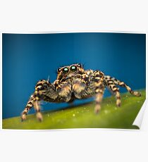 Marpissa muscosa male jumping spider macro photo Poster