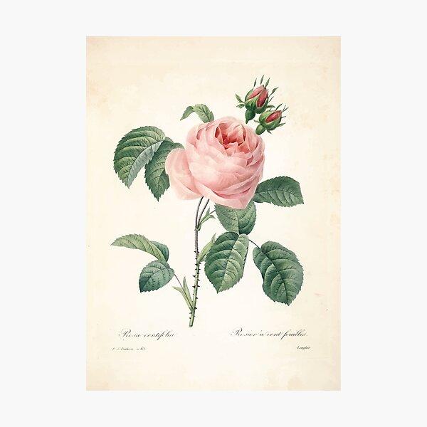 Choix-des-plus-belles-fleurs-et-des-plus-beaux-fruits-Pierre-Joseph-Redouté-1833-090_jpg Beautiful Flowers Finest Fruits Photographic Print