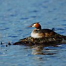 great crested grebe by murch22