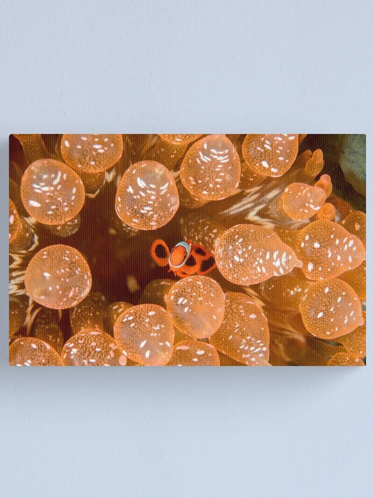 Alternate view of Tiny Spinecheek Anemonefish - Premnas biaculeatus Canvas Print