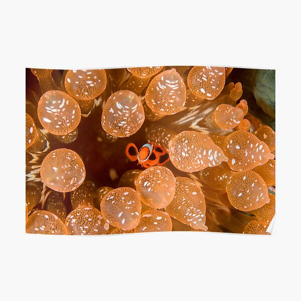 Tiny Spinecheek Anemonefish - Premnas biaculeatus Poster
