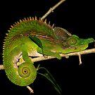 I'm not here  (Furcifer antimena)   Ifaty Madagascar by john  Lenagan
