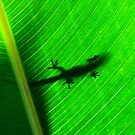 Day gecko ( Phelsuma Lineata ) view 1 - antasibe  Madagascar by john  Lenagan