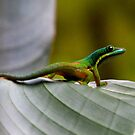 Day gecko ( Phelsuma Lineata ) view 2 - antasibe  Madagascar by john  Lenagan