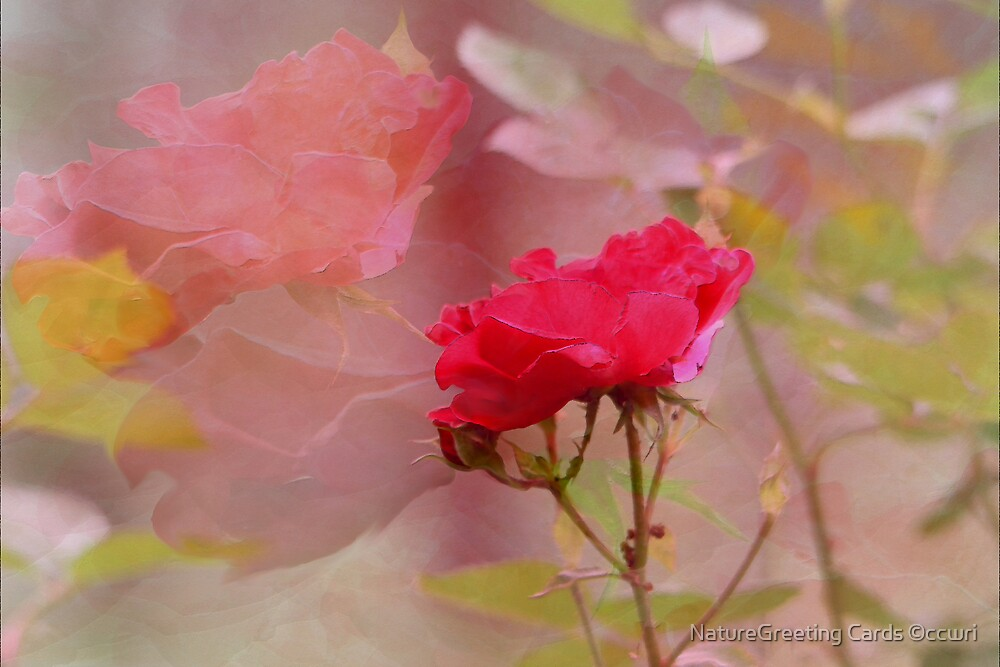 REFLECTIONS OF A ROSE by NatureGreeting Cards ©ccwri