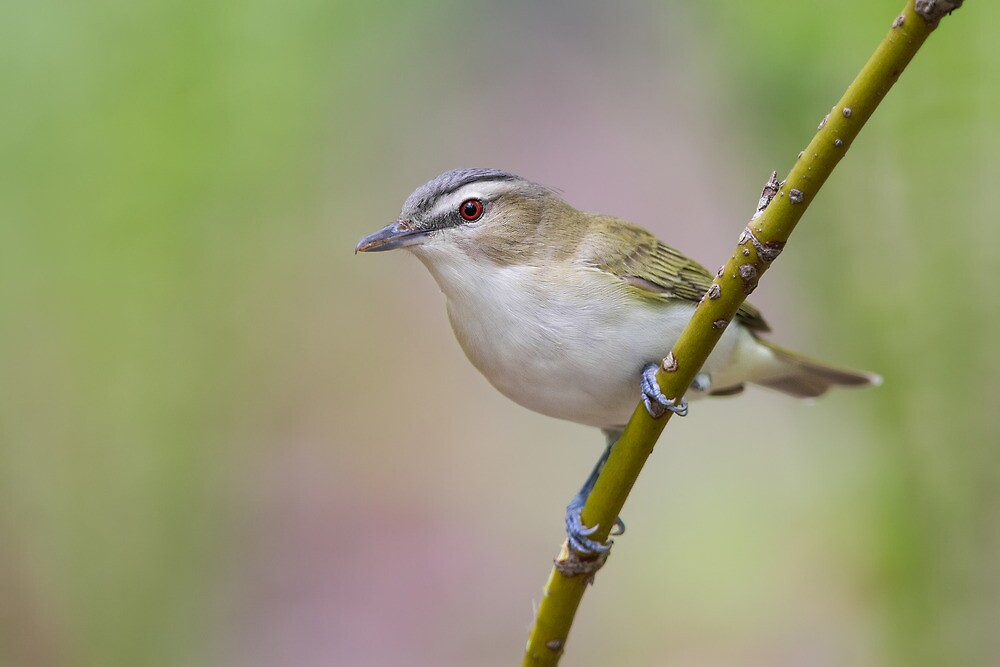 Red-eyed Vireo. by Daniel Cadieux
