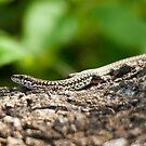 wall lizard  by Steve Shand