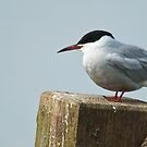 common tern by Steve Shand