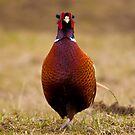 pheasant by Steve Shand