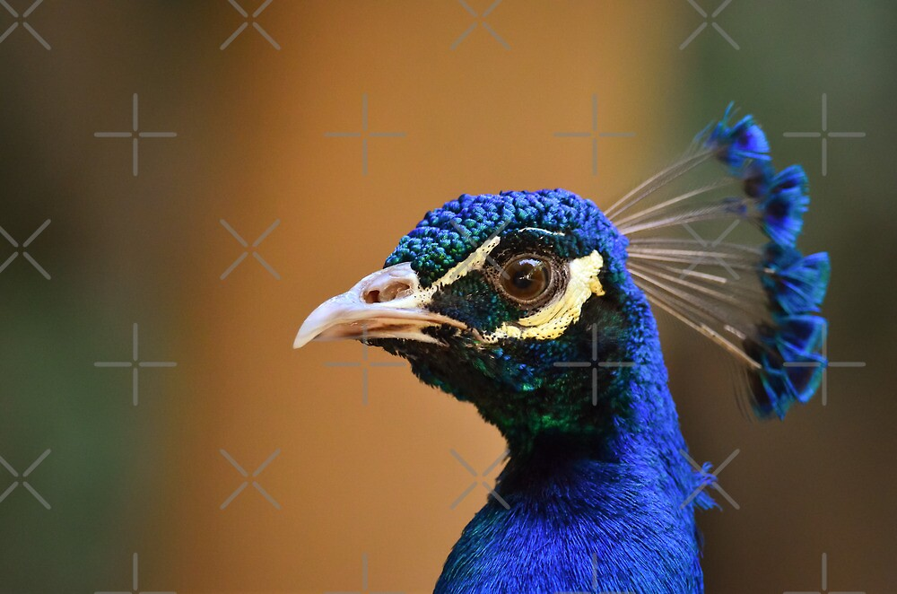 Peafowl male by M-A-K