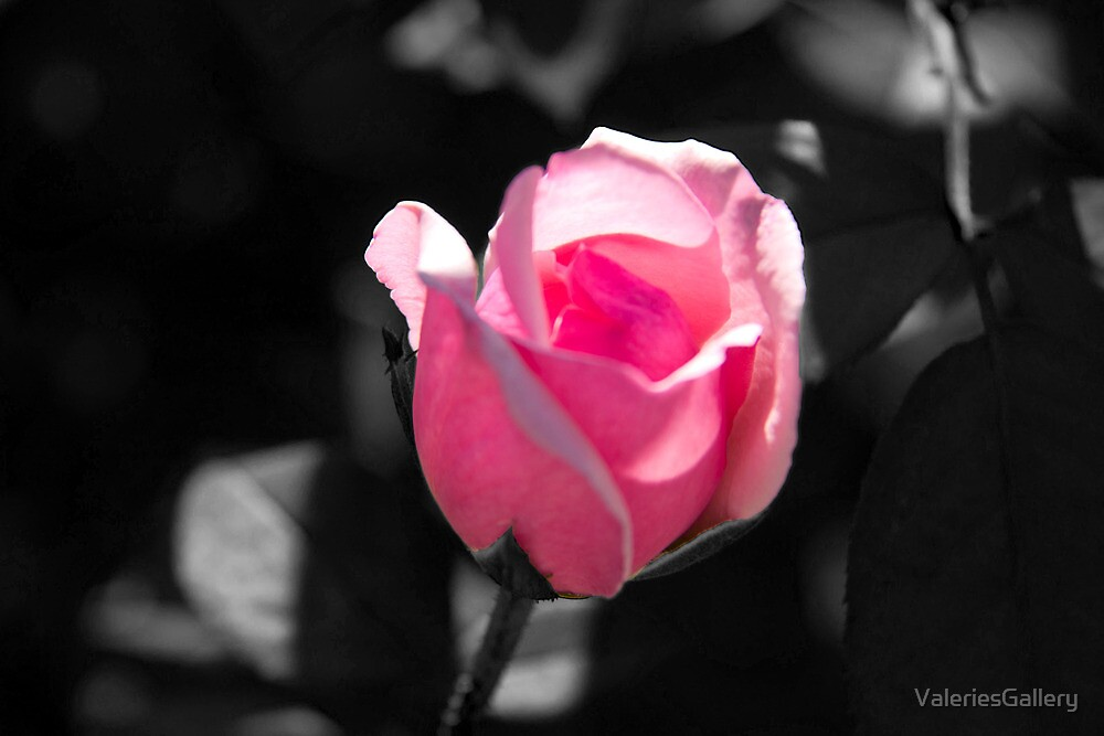 """Pink Rose Bud Black And White Background"" By"