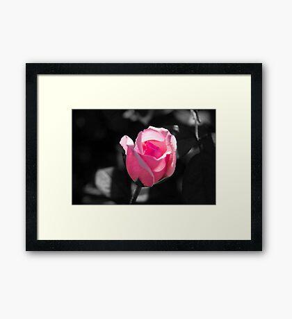 Pink Rose Bud Black and White Background Framed Print