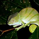 Chameleon - Calumma oshaugnessyi  -  Ranomafana Madagascar by john  Lenagan