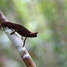 Chameleon - Brookesia  superciliaris -  Andasibe Madagascar by john  Lenagan