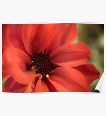 Red Daisy with Pollen Poster