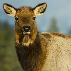 Elk Stare Down by lincolngraham