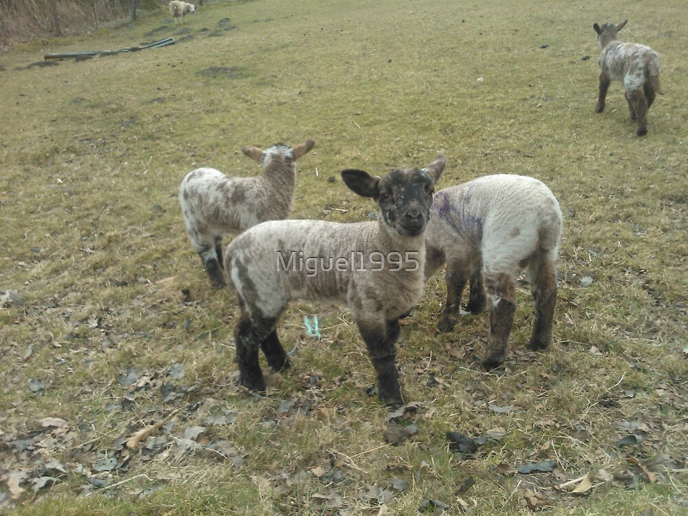 lambs by Miguel1995