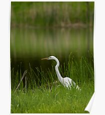The Great Egret 1 Poster