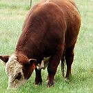 Hereford Bull by SKNickel