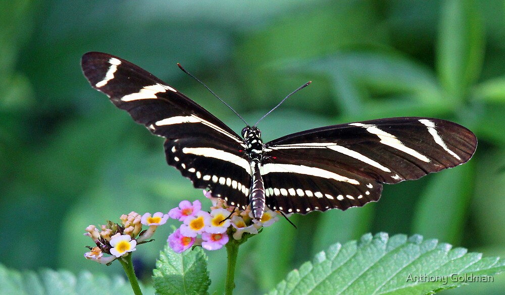 Zebra Longwing butterfly 2 by Anthony Goldman