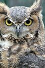 Great Horned Owl - Lake Placid New York by Debbie Pinard