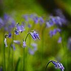 Vibrant Bluebells  by Stephen J  Dowdell