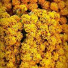 Yellow Yarrow by paintingsheep
