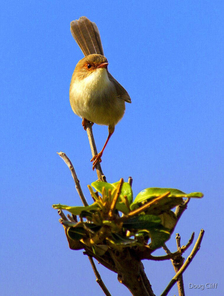 Superb Fairy-wren at Warriewood NSW by Doug Cliff