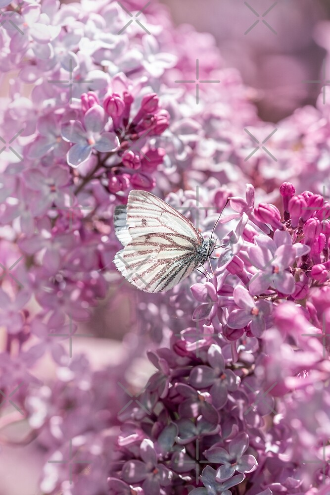 White butterfly in pink lilac flowers by macroviewpoint