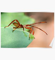 Immature Assassin Bug Poster